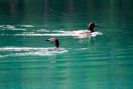 Two loons swimming in blue green water. Stock Photo