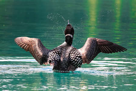 The back view of a loon as it breaches the water to dry its wings.