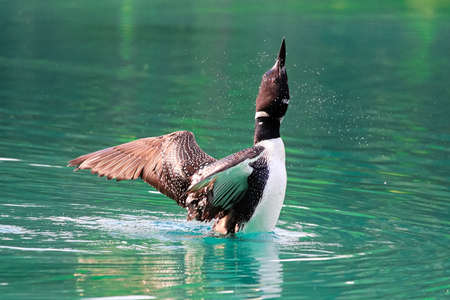 A spray of water around a loon as it stretches its wings.