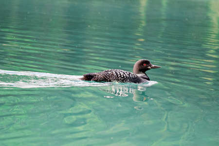 A common loon swims in blue green water. Stock Photo