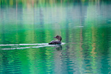 A common loon swims in reflective water.