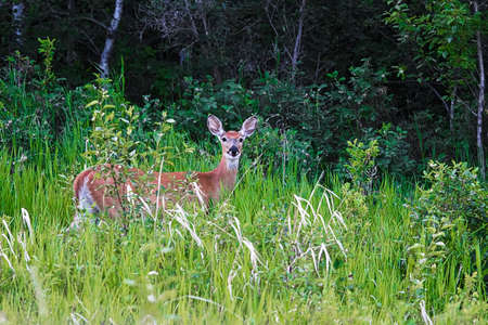 A whitetail deer standing in some grass