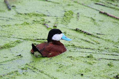 A male Ruddy Duck swims in green algae