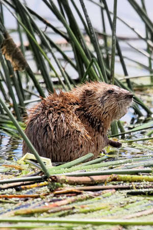Closeup of a muskrat sitting in water on reeds