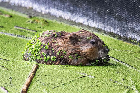 A muskrat from the side covered in green duckweed Stock Photo
