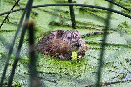 Closeup of a muskrat eating green reeds