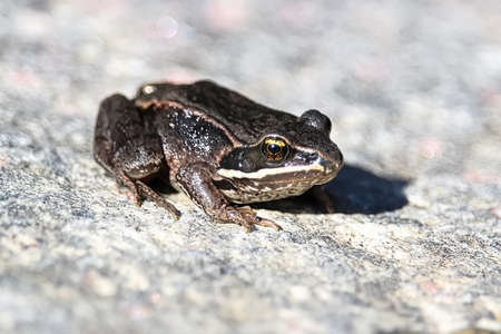 A Wood Frog sits on a gray rock