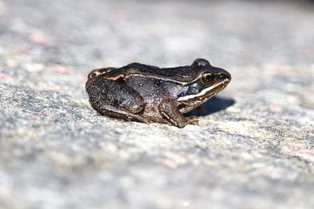 The side view of a dark Wood Frog