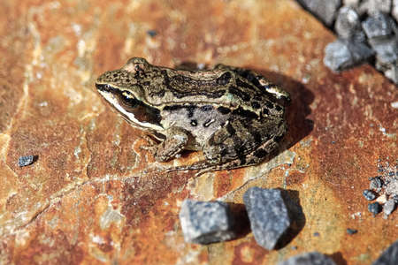 The top view of a Wood Frog on a red rock Stock Photo