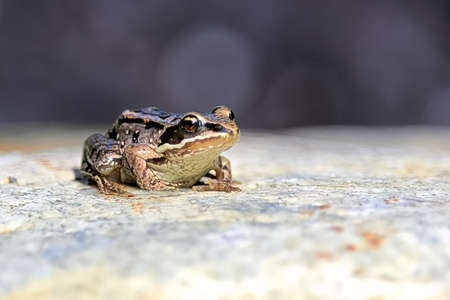A Wood Frog sits in a gray rock.