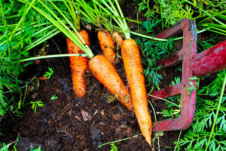 Digging organic carrots up with a pitchfork