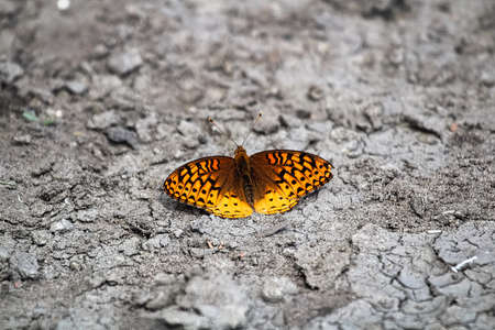 A Fritillary butterfly sits on grey mud 스톡 콘텐츠