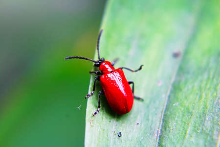 A red lily beetle on a leaf Stock Photo