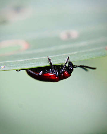 A lily beetle on the underside of a leaf