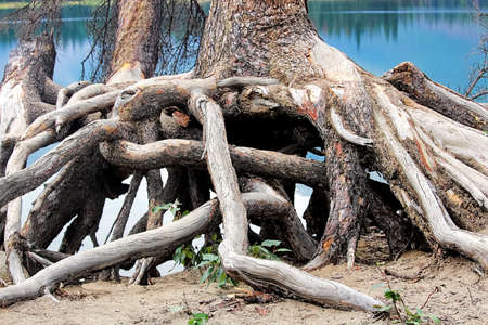 Twisted roots at the base of a spruce tree Stock Photo