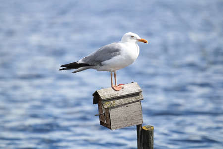 A Herring Gull standing on a birdhouse