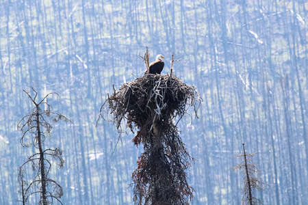 A bald eagle sitting in a nest with a burnt forest background