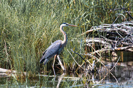 A Great Blue Heron stands in front of grass by the shore.