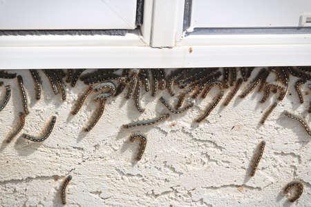 Tent caterpillars climb up under a window during an infestation