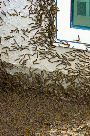 Thousands of caterpillars climb a house during an infestation