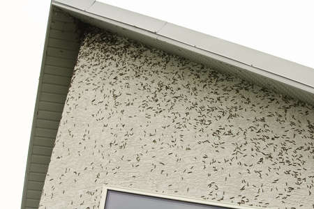 Thousands of caterpillars climbing to the top of a house
