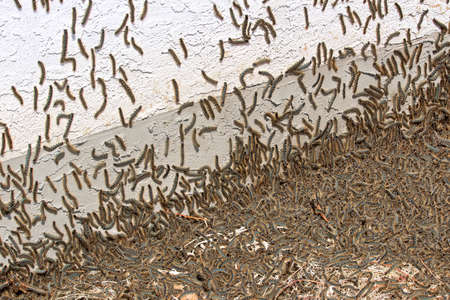 Tent caterpillars gather in masses during an outbreak