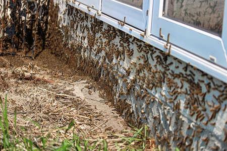 Caterpillars climb under a window during an infestation