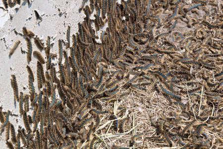 Tent caterpillars climb the edge of a stucco house Stock Photo