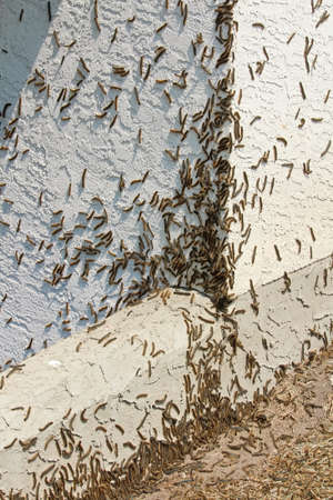 Forest Tent Caterpillars climb over a house during an outbreak Stock Photo