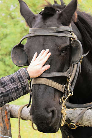 Petting a black horse with a bridle and blinkers