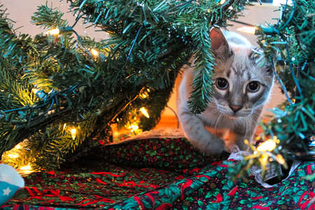 A cat playfully stalks through a Christmas Tree