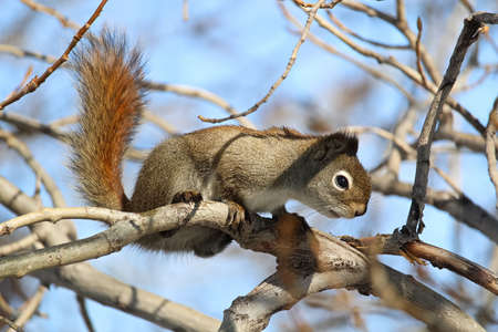 A squirrel in a bare tree with a blue background