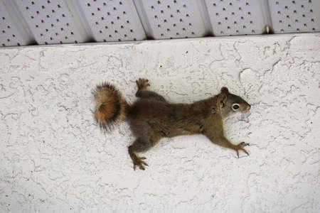 Een eekhoorn van de zijkant van een gestuukte muur