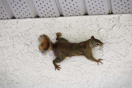 Ein Eichhörnchen von der Seite einer Stuckwand