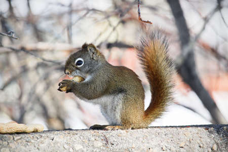 A squirrel munches on a peanut while sitting on a wall