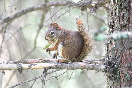 A squirrel in a spruce tree eating a pine cone Stock Photo