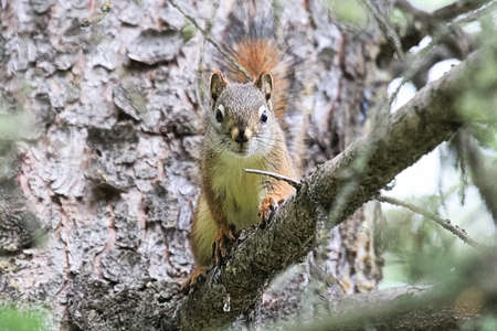A Squirrel on a spruce tree branch looking directly at the camera Stock Photo