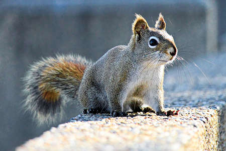 A Red Squirrel sits on a stone wall