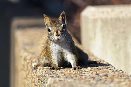 A Red Squirrel posses on a stone wall