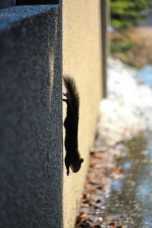 A squirrel runs vertically down a wall in winter