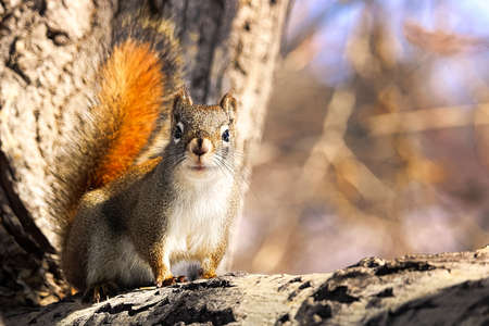 An alert squirrel sits in the corner or a tree Stock Photo