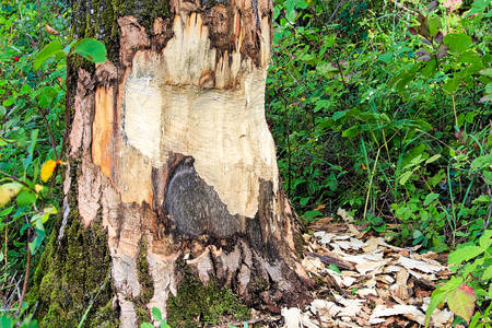 The base of tree being chewed by a beaver