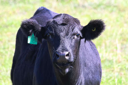 Closeup of the head of a black cow with ear tag Reklamní fotografie