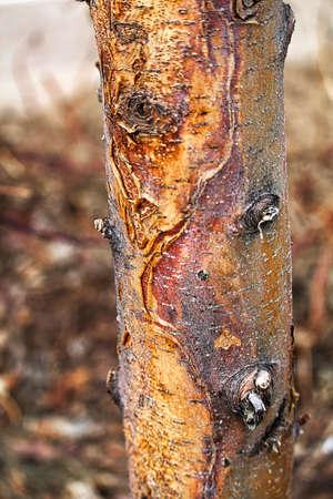 Closeup of a sun scald damage on a tree trunk