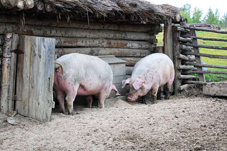 Two pigs outside a rustic barn rooting on the ground