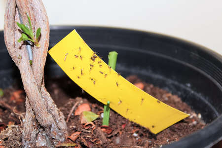 Using stick tape to catch fungus gnats infesting a plant