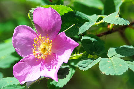 Macro view of a wild rose background with leaves 版權商用圖片