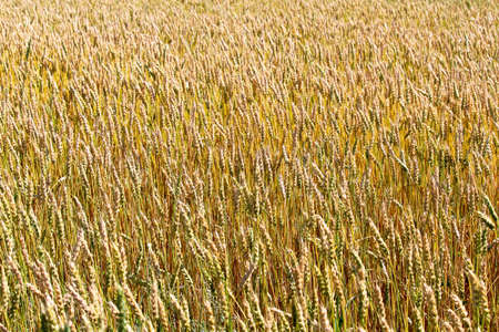 a background of yellowing wheat in a field 版權商用圖片