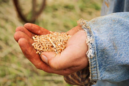 A handful of wheat kernals being held in a young male hand Banco de Imagens