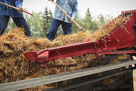 Throwing wheat into a threshing machine with pitch forks